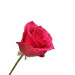 Hot Pink Rose Hot Princess