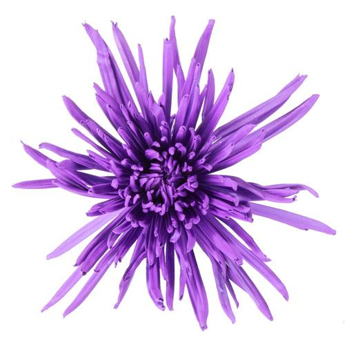 Purple Airbrushed Spider Mum Flowers
