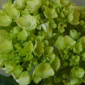 Baby Hydrangea Honeydew Green Flower