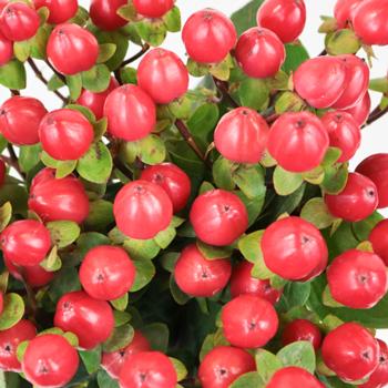 Red Designer Hypericum Berries