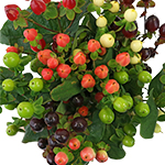Hypericum Berries Bulk Mixed Colors