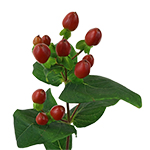 Burgundy Hypericum Berry Flowers