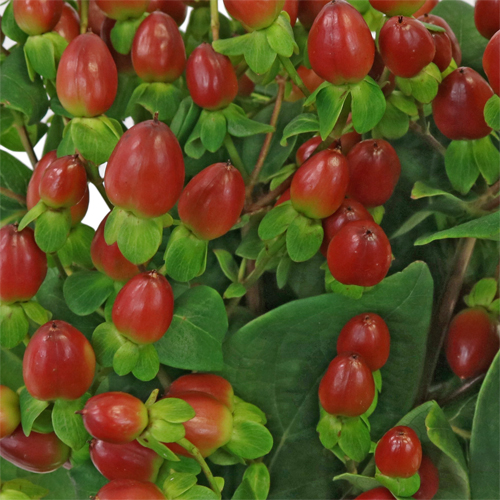 Excellent Flair Marsala Hypericum Berries