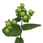 Green Hypericum Berry Flowers