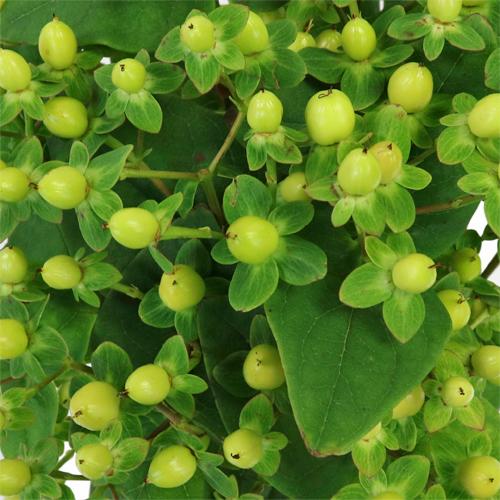 Lemon Lime Hypericum Berries