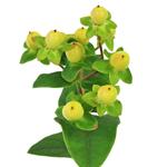 Yellow Hypericum Berry Flowers
