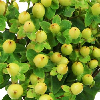 Pear Green Hypericum Berries
