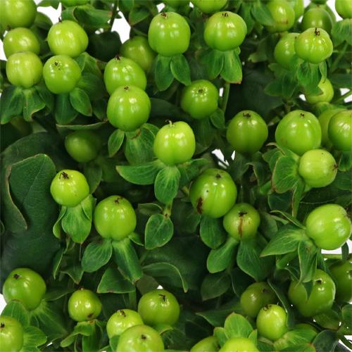 Green Designer Hypericum Berries