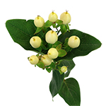 Green  Hypericum Berry Flowers