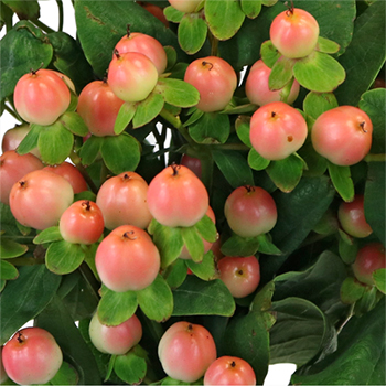Peaches and Cream Designer Hypericum Berries