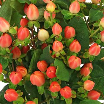 Coral Ombre Designer Hypericum Berries