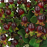 Burgundy Designer Hypericum Berries