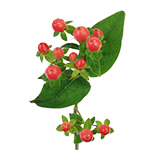 Peach Hypericum Berry Flowers