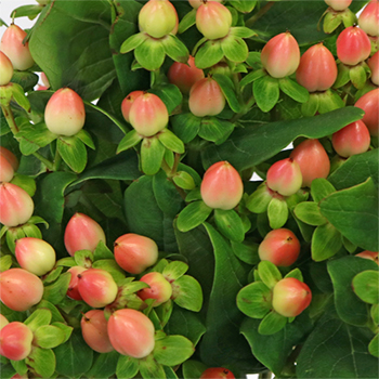 Peaches and Cream Hypericum Berries
