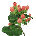 Salmon Pink Hypericum Berry Flowers