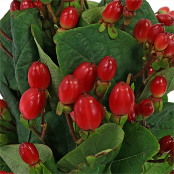 Candy Apple Hypericum Berries