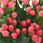 Hot Pink Hypericum Berry Flowers
