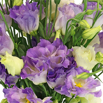Hues of Lavender Lisianthus Flower for June to September Delivery