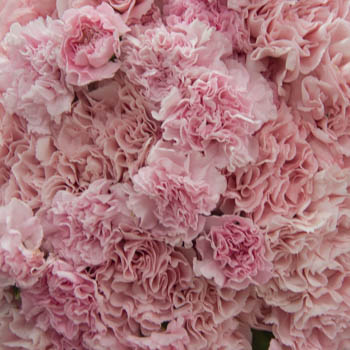 Sweet Pink Mix Carnation Pack