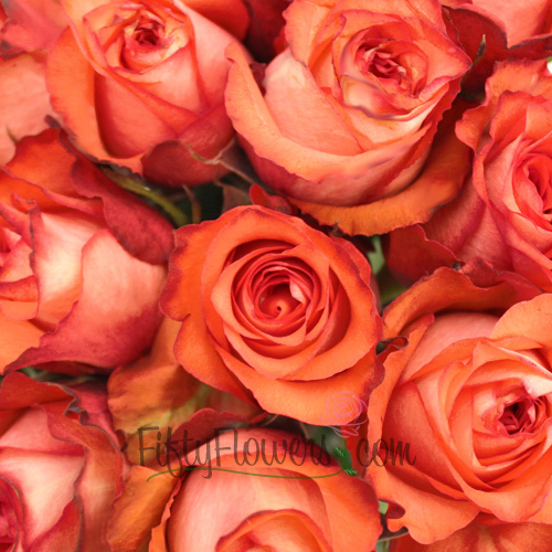 Iguana Orange Terracotta Rose