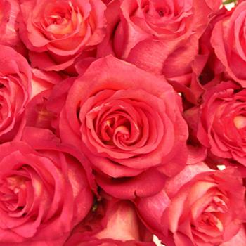 Iguazu Strawberries and Cream Rose