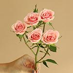 Ilse pale pink Rose Stem