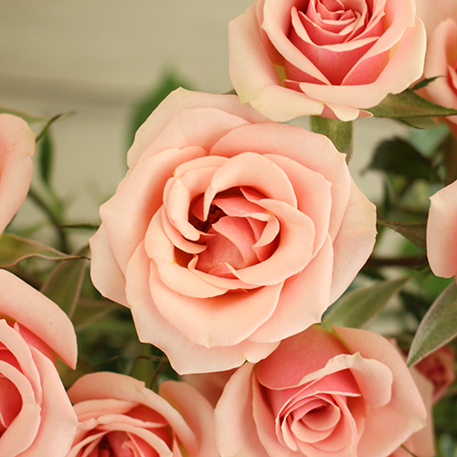 Ilse pale pink Roses up close