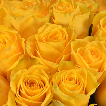 Impact Yellow Rose
