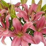 Peach Hybrid Lilies