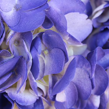 Indigo Nights Airbrushed Hydrangea