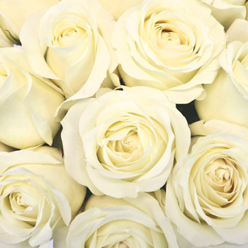 Soft White Sweetheart Roses