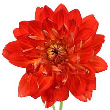 Dahlia Flower Bright Fire Orange Red