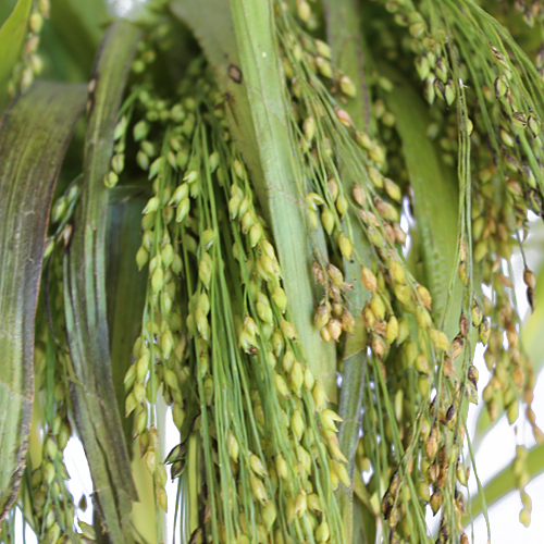 Wedding greenery irish millet bulk filler flowers sold near me