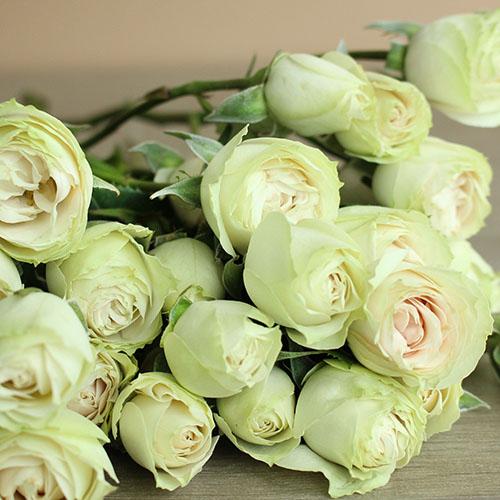 Irishka Cream Roses up close