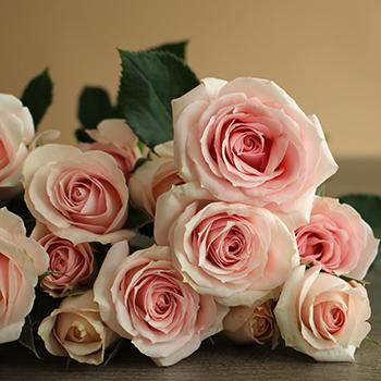 Irishka Pink Roses up close