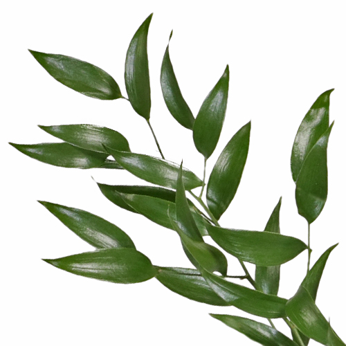 Italian Ruscus Greenery