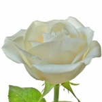 Cream Rose Ivory
