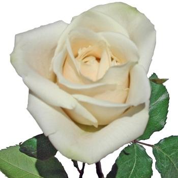 Ivory Cream Rose Free Shipping