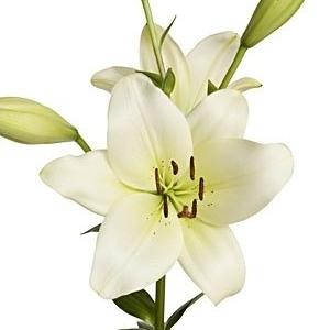 Ivory Hybrid Lily