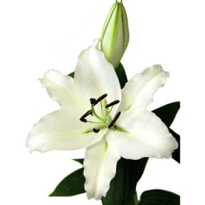 Ivory Oriental Lily
