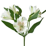White Alstroemeria Flowers Virginia