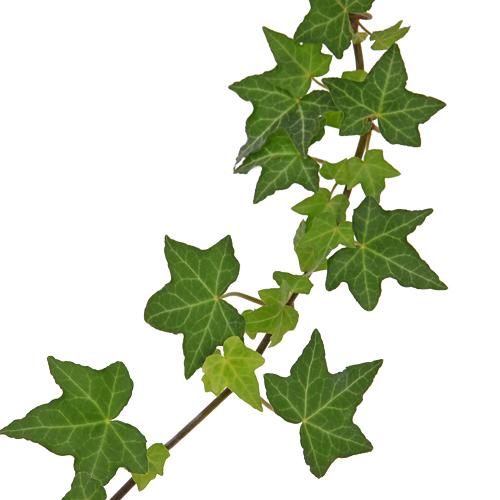 Cascading Ivy Greenery