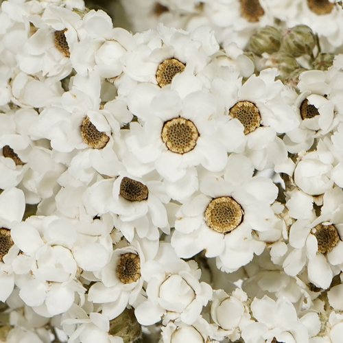 Dried White Mountain Daisy
