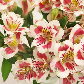Wine and White Peruvian Lilies