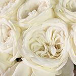 Jeanne Moreau White Garden Roses up close