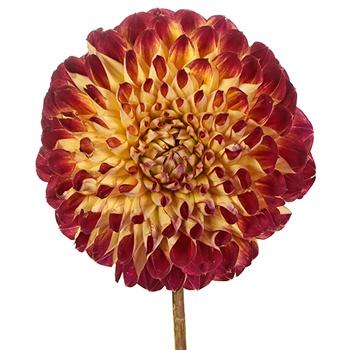 Joshua Dahlia Flower