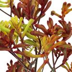 Wholesale Kangaroo Paw Orange Flower