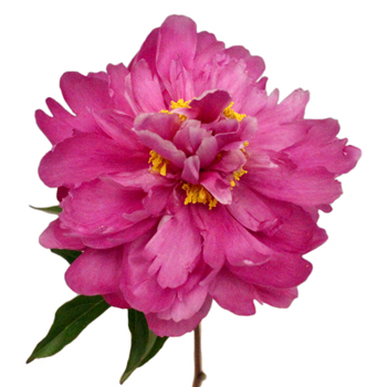 Karl Rosenfield Peonies for April