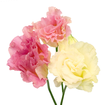 Pink Champagne Lisianthus Flower for October to May Delivery