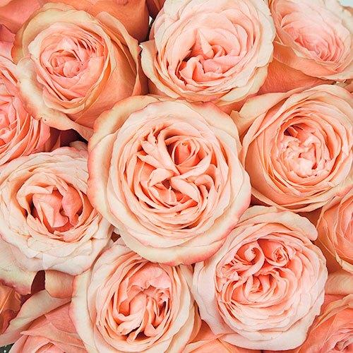 Kahala Peach Roses Close up